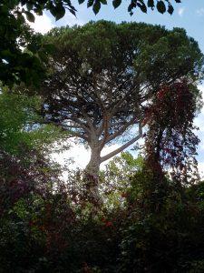 huge pine tree